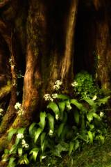 At the feet of gentle giants (Fly bye!) Tags: plant flower tree ivy bark redwood sequoia wildgarlic woodsorrel bodnantgardens