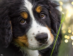 Vater & Sohn Part III (roland_lehnhardt) Tags: portrait dog pet animal animals tiere bokeh hund bernesemountaindog haustier hunde tier mailo hundeportrait beyondbokeh dogtrait bernersennenund