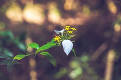 -Yellow star and White leaf. (AllenPan02) Tags: plant flower green nature yellow hongkong star leaf soft bokeh fancy   tone