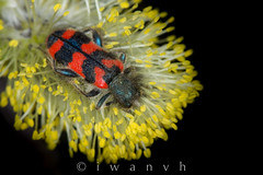 Trichodes alvearius (iwanvh) Tags: art nature artist photographer biodiversity iwan photographe naturalist naturaliste environement margeride trichodesalvearius trichodes alvearius iwanvh vanhoogmoed wwwiwanvhcom trichodesalveariustrichodesalvearius