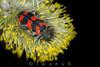 Trichodes alvearius (iwanvh) Tags: art nature artist photographer biodiversity iwan photographe naturalist naturaliste environement margeride trichodesalvearius trichodes alvearius iwanvh vanhoogmoed wwwiwanvhcom trichodesalveariustrichodesalvearius