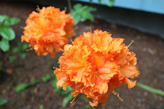 IMG_3049.JPG (robert.messinger) Tags: flowers rhodies