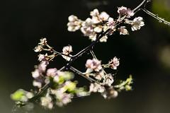 cdn.yeg.050716_OMM7236 (ommphoto) Tags: ca canada tree green nature spring edmonton blossom blossoms plum ab plumtree plumblossoms 2016 yeg ommphoto