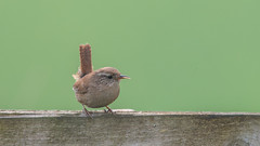 Wren - Troglodytes troglodytes (matthewprice172) Tags: nature birds wall ed outdoors spring nikon wildlife somerset ham fl wren nikkor troglodytes f4 vr rspb 600mm d800e