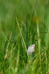Liten Guldvinge (evisdotter) Tags: macro nature butterfly bokeh fjril lycaenaphlaeas sooc litenguldvinge