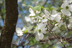 IMG_6539.jpg (She Curmudgeon) Tags: 2016 arboretum arnoldarboretum dogwood lilac lilacsunday