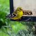 American+Goldfinch+male+-+Chardonneret+jaune+m%C3%A2le