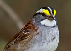 White-Throated Sparrow (Zonotrichia albicollis) 0F3A5351 (Dale Scott.) Tags: albertacanada whitethroatedsparrow zonotrichiaalbicollis wabamunlakeprovincialpark
