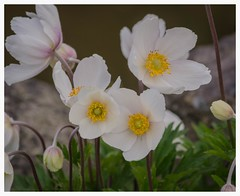 Anemone sylvestris (Snowdrop anemone) (frankmh) Tags: plant flower skne sweden outdoor anemone krapperup snowdropanemone anemonesilestris