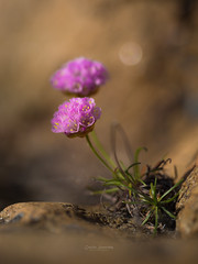 Strandnellik (nemi1968) Tags: pink flowers flower macro rock closeup canon seaside stem purple bokeh outdoor ngc may stems rekkevik larvik seapink armeriamaritima markiii strandnellik canon5dmarkiii ef100mmf28lmacroisusm