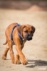 Kaami (Paavo Jean) Tags: dog animal canon germany puppy deutschland tiere outdoor lion explore hund ridgeback 70200 ef tier haustiere rhodesian schrfentiefe welpe lwenhund kaami 5d3 70200mmlisii 5dmark3