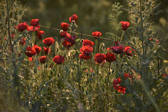 Poppy Dawn (rdspalm) Tags: select landscapes lesvos greece nikond810 outdoor outdoors plant flower flowers landscape field poppy poppies explored