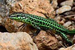 Gecko (photonsdanslaboite) Tags: nikon70300mmvr d7000 photonsdanslaboite