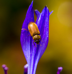 Orange insect/beetle macro shot on purple flower head (jezbags) Tags: new flowers blue light summer orange plants flower macro nature sunshine animals canon wow insect pretty day purple shot head central beetle 100mm dreams upclose macrophotography insectbeetle 60d