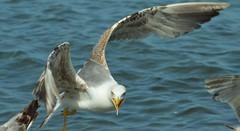 Fierce look (dan_m_gh@yahoo.com) Tags: seagull flying