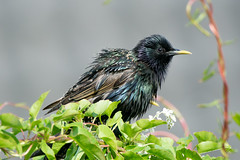 Starling (Shane Jones) Tags: bird nikon wildlife starling tc14eii gardenbird 200400vr d7200