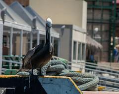 DSC_0376 (Copy) (pandjt) Tags: bird mexico pelican bajacaliforniasur mx cabosanlucas cabostlucas