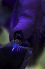 When light caresses dark (Greta Powell) Tags: flowers blue iris plants flower macro gardens canon flora dof purple great bearded purpleflowers macroflowers blueflowers iriss greatbeardediris