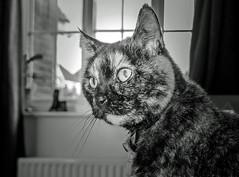 Smudge (June 2016) (BW)  (4) Fuji X70 Compact) (1 of 1) (markdbaynham) Tags: bw pet cute animal cat prime feline fuji 28mm smudge fujinon f28 compact x70 apsc fujix 16mp transx