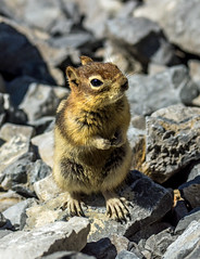 golden mantled ground squirrel - banff NP, canada (AB) 10 (Russell Scott Images) Tags: canada ab alberta banff rodents banffnationalpark goldenmantledgroundsquirrelcallospermophiluslateralis