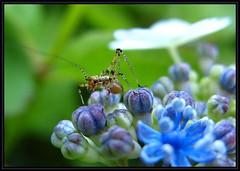 IMG_2688 Nymph Maniac 6-16-13 (arkansas traveler) Tags: insects bichos bugs katydidnymph katydid nature naturewatcher bokeh bokehlicious macro macrolicious