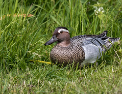 Garganey (Anas querquedula). (dave.mcculley) Tags: eye nature outdoors duck wildlife anus martinmere garganey