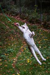 Kasimir thinks he's Tarzan (Cloudtail the Snow Leopard) Tags: animal cat mammal jump feline katze sprung lynx tier pforzheim wildpark springen luchs sugetier kasimir
