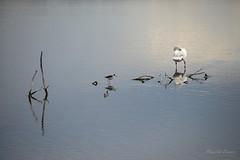 Timide (Pakalou44) Tags: bird teich oiseau cygne swann chasse