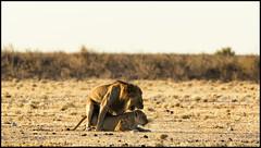 _SG_2016_05_Namibia_0051_IMG_0337 (_SG_) Tags: auto africa park trip horse elephant tree water car nationalpark wasser solitude desert hole lion pride national lions zebra afrika giraffe ausflug elefant namibia herd pferd lioness baum strauch etosha gnus wildebeest watering wateringhole lwe lwen elefanten 2016 einde giraffen antilopen lwin herde prideoflions etoshanationalpark standpost wasserstelle etoshapark lwenrudel elefantenherde wildebai giraffenherde giraffesherd