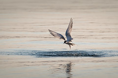 Tern rising from the water (Marc McDermott) Tags: bird tern fishing water lake plungedive nature flight wings ef70200mmf28lisiiusm 7dmarkii ontario canada wild sternidae lari charadriiformes aves sterna common splash drops