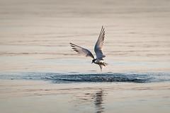Tern rising from the water (Marc McDermott) Tags: bird tern fishing water lake plungedive nature flight wings ef70200mmf28lisiiusm 7dmarkii ontario canada wild sternidae lari charadriiformes aves sterna common splash drops