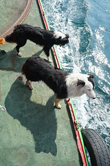 Ferry Dogs - Seal Spotting (Tom Willett) Tags: skye ferry scotland highlands isleofskye glenelg sleet kylerhea carferry glenachulish soundofsleet turntableferry mvglenachulish originalskyeferry