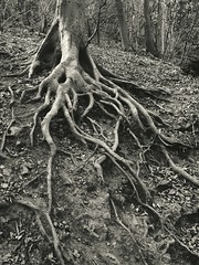 ... see one root of all evil and become a fanatic, see many roots of many evils and become a philosopher ... Tree Trees Roots Monochrome Mono Sepia Blackandwhite Bw    (Almena14) Tags: trees blackandwhite bw tree monochrome sepia mono roots