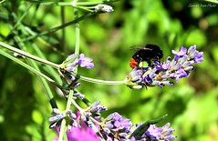 Calabrone  / hornet (IVAN 63) Tags: flowers nature garden insect flora lavender bee bumble