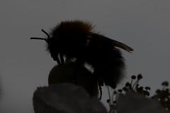 Flash didn't go :-) (Tam & Sam [Thank you for 400,000 + views]) Tags: summer macro june closeup garden insect nikon blackberry bumblebee bramble 2016 bytam