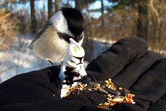 Um, don't tell me....He's right behind me, isn't he? (zJMac) Tags: light sunset ontario canada trooper bird canon star back kiss birdseed hand lego ottawa chickadee glove wars feed capped premium storn hogs t3i x5 600d zjmac