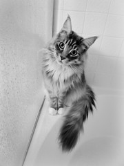 Wolfie still loves the bathtub (andertho) Tags: wolfie wet cat shower cool feline maine kitty coon mainecoon uncool wolfman wolfgang mainecooncat cool2 cool5 cool3 cool4 uncool2 uncool3 uncool4 uncool5 uncool6 uncool7 wolfinator