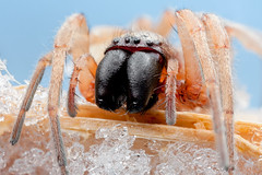 Get Out! (johnhallmen) Tags: winter snow macro insect spider nrm crosspolarization canonmpe65 canon5dmkii canon270ex