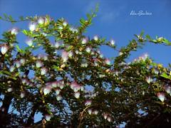 No jardim de casa de manhã - Goiânia , Goiás, Brasil (Alan Bailão ⎝⏠⏝⏠⎠) Tags: brasil jardim goiânia goiás flôres