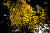 Break The Night With Color...(kanikonna) (Vinu Thankachan) Tags: flowers autumn flower color nature yellow night evening spring nikon yellowflower vishu kanikonna morningflower happyvishu vishuwishes d3100 nikond3100 breakthenightwithcolor eveninfflower vishuashamsakal