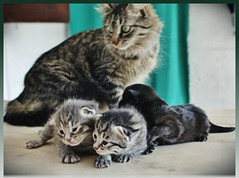 Lucy & kittens  (Viola & Cats =^..^=) Tags: cats kittens gatti gattini catnipaddicts