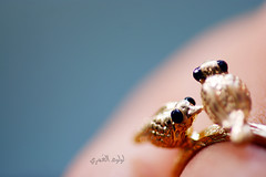 Love Birds [ 5 / ] (Luluwh Al Omari) Tags: bird birds photography gold al ring omari       luluwh