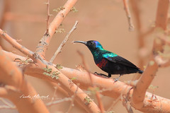 Shining Sunbird - Male :   -  (Sakhr Abdullah |   ) Tags: bird colors birds wildlife shining sunbird nectarinia       habessinica