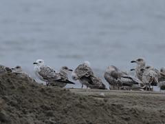 Caspian gull / Larus cachinnans / Pontische meeuw 2cy (Herman Bouman) Tags: gull caspian meeuw larus caspiangull laruscachinnans cachinnans 2cy pontischemeeuw pontische