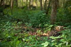 ... I see u ... (liewwk - www.liewwkphoto.com) Tags: life park family wild plant green bird nature fauna canon garden flora natural outdoor wildlife foliage owl buffy malay bubo strigidae naturallife buffyfishowl 5dmark2 ketupu canon5dm2 liewwk httpliewwkmacroblogspotcom wwwliewwkphotocom 刘永强 wwwliewwkphotocomblog
