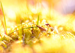 into the sun (Crazy Ivory) Tags: lighting pink light shadow red orange baby sun sunlight macro beautiful grass yellow flesh backlight canon mouth bug insect walking lights big cool interesting warm purple ant small violet 100mm highkey gras backlit prey makro claws redant canon100mmusmmacro canon100mmf28usmmacro 40d canon100mm28usmmacro gettygermanyq4