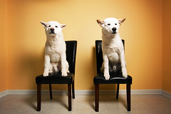 Week 15 of 52: Take A Seat (Ronaldo.S) Tags: dog white beauty puppy nikon dish akita f28 alienbees 2035mm b800 d700