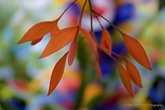 Orange Leaves (Edgar Anderson) Tags: red orange green leaves closeup landscape florida miami blurred southflorida elitephotography edgaranderson