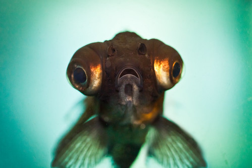 fish black macro eye bug aquarium eyes goldfish moor fins mg1940