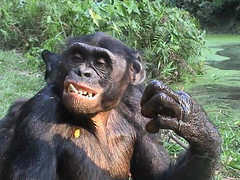 Bonobo showing its teeth. Ian Redmond (un-grasp) Tags: water bonobo grasp